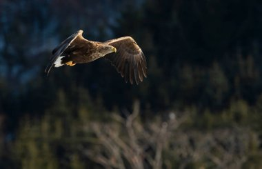 Adult White tailed eagle in flight. Mountain green forest on background