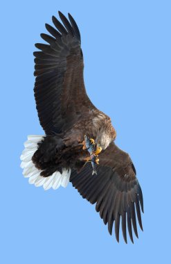 Adult White-tailed eagle with fish in flight over blue sky
