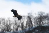Pro dospělé orel v letu nad zimní hory pozadí. Vědecký název: Haliaeetus albicilla, také známý jako ern, erne, šedý orel, euroasijské orel mořský a moře orel