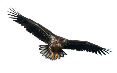 Juvenile White-tailed eagle in flight isolated on White background. Scientific name: Haliaeetus albicilla, also known as the ern, erne, gray eagle, Eurasian sea eagle and white-tailed sea-eagle.