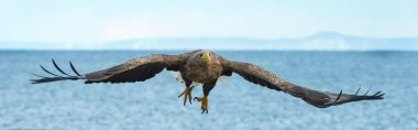 Adult White tailed eagle in flight over blue sky and ocean background. Scientific name: Haliaeetus albicilla, also known as the ern, erne, gray eagle, Eurasian sea eagle and white tailed sea-eagle