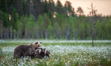 She-bear and bear cubs in the summer forest on the bog among white flowers. Natural Habitat. Scientific name: Ursus arctos. Summer season.
