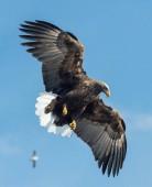 Aquila Bianco-munita adulto in volo sul fondo del cielo blu. Nome scientifico: Haliaeetus albicilla, noto anche come il ern, erne, aquila grigia, Eurasian Aquila di mare e mare-aquila Bianco-munita.