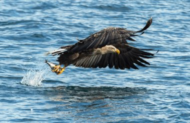 Adult White-tailed eagles fishing over blue ocean. Scientific name: Haliaeetus albicilla, also known as the ern, erne, gray eagle, Eurasian sea eagle and white-tailed sea-eagle. Natural habitat