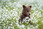 Barna medve cub fehér virágok közt nyári erdőben. Tudományos név: Ursus arctos. Természetes zöld háttér. Természetes élőhelye