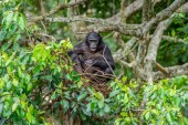 Bonobo on the tree in natural habitat. Green natural background. The Bonobo ( Pan paniscus), earlier being called the pygmy chimpanzee. Congo. Africa