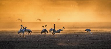 Cranes in a arable field at sunrise. Common Crane, Scientific name: Grus grus, Grus Communis. Feeding of the cranes at sunrise in the national Park Agamon of Hula Valley in Israel. stock vector