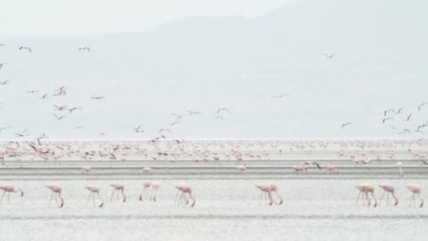 a flock of pink flamingos taking flight at lake Natron. Mist Morning. Colony of Flamingos on the Natron lake. Lesser Flamingo Scientific name: Phoenicoparrus minor. Tanzania, Africa