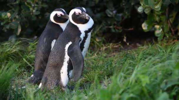 Africké tučňáků. Tučňák brýlový, vědecký název: Spheniscus demersus známé také jako a černonohá tučňák. Jihoafrická republika. 4k