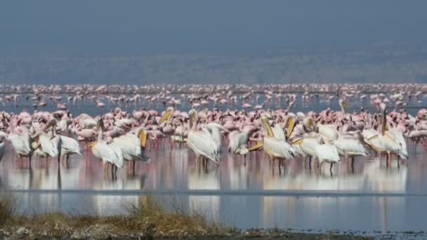 Great White Pelicans and flamingos. Colony of Flamingos on the Natron lake. Lesser Flamingo Scientific name: Phoenicoparrus minor. Tanzania, Africa 4k