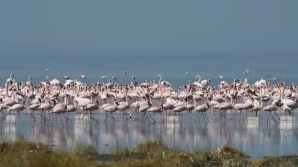 Colony of Flamingos on the Natron lake. Lesser Flamingo Scientific name: Phoenicoparrus minor. Tanzania, Africa 4k