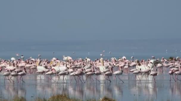 Kolonie plameňáků u jezera Natron. Menší Flamingo vědecký název: Phoenicoparrus drobné. Tanzanie, Afrika 4k