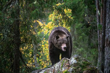 Bear on a rocks. Adult Big Brown Bear in the autumn forest. Scientific name: Ursus arctos. Autumn season, natural habitat.