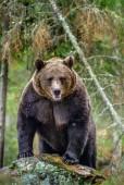 Photo Bear on a rocks. Adult Big Brown Bear in the autumn forest.  Scientific name: Ursus arctos. Autumn season, natural habitat.