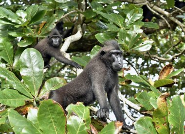The Celebes crested macaque, also known as the crested black macaque, Sulawesi crested macaque, or the black ape. Scientific name: Macaca nigra. Natural habitat. Sulawesi. Indonesia