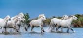 Fehér Camargue ló vágtató a víz.