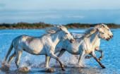 Bílá Camargue koně tryskem na vodě.