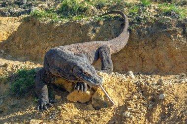 Komodo dragon sniffs the air with his forked tongue. Scientific name: Varanus komodoensis. Biggest in the world living lizard in natural habitat. Island Rinca.