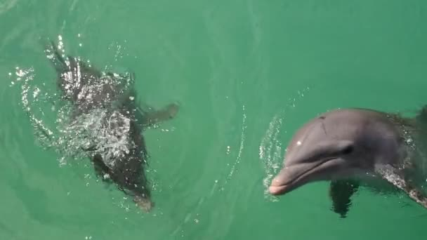 Dolphins swims in the water. Slow motion video. Common bottlenose dolphin or Atlantic bottlenose dolphin. Scientific name - Tursiops truncatus.