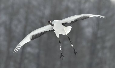 The red-crowned crane in flight. Scientific name: Grus japonensis, also called the Japanese crane or Manchurian crane.