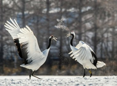 The red-crowned cranes. Scientific name: Grus japonensis, also called the Japanese crane or Manchurian crane.
