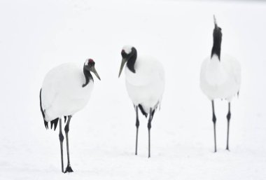 The red-crowned cranes. Scientific name: Grus japonensis, also called the Japanese crane or Manchurian crane, is a large East Asian crane. Winter season. Japan.