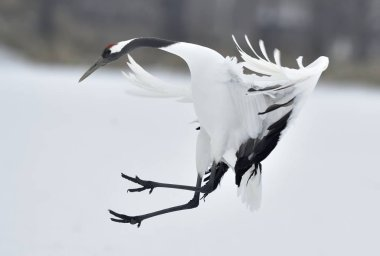 Dancing Crane. The ritual marriage dance. The red-crowned crane. Scientific name: Grus japonensis, also called the Japanese  or Manchurian crane, is a large East Asian Crane.