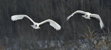The red-crowned cranes in flight. Dark background of winter forest. Scientific name: Grus japonensis, also called the Japanese crane or Manchurian crane.