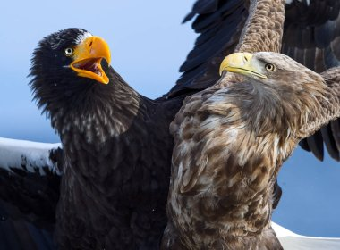 Eagles in fight. Steller's sea eagle fight vs White tailed eagle.