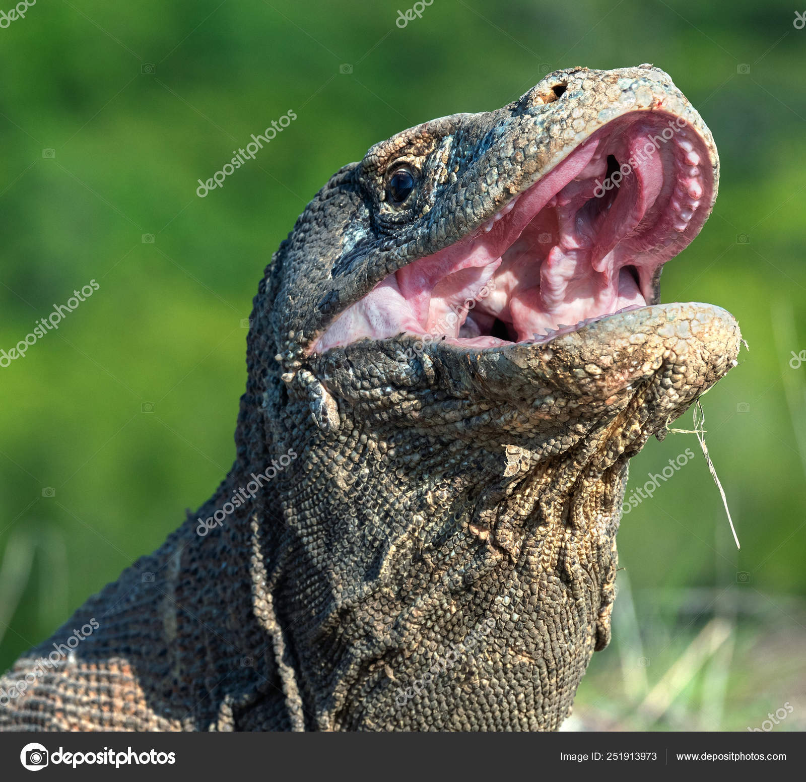 Open Mouth Komodo Dragon Close Portrait Front View Komodo Dragon Stock Photo Image By Surzet 251913973
