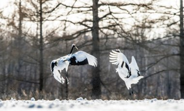 Dancing Cranes. The ritual marriage dance of cranes. Scientific name: Grus japonensis, also called the Japanese crane or Manchurian crane, is a large East Asian Crane.