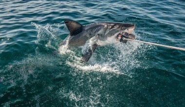 Great White Shark jumps out of the water and  grabs bait. Scientific name: Carcharodon carcharias. South Africa
