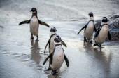 Afričtí tučňáci na písečné pláži. Africký tučňák známý také jako tučňák, tučňák černonohý. Vědecký název: Spheniscus demersus. Jižní Afrika