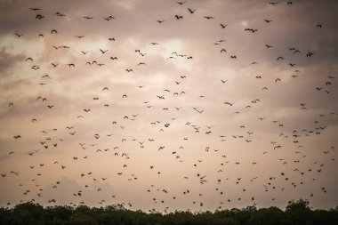 A flock of fruit bats in the sunset sky. The small flying foxes, island flying foxes or variable flying foxes (Pteropus hypomelanus), fruit bats . Fox bats flying in the sunset sky.