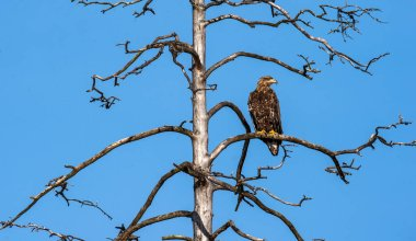 Juvenile White-tailed eagle perched on the old dry tree. Blue Sky background. Scientific name: Haliaeetus albicilla, Ern, erne, gray eagle, Eurasian sea eagle and white-tailed sea-eagle.
