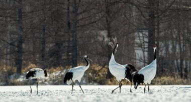 Dancing Cranes. The ritual marriage dance of cranes. The red-crowned crane. Scientific name: Grus japonensis, also called the Japanese crane or Manchurian crane, is a large East Asian Crane