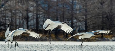 The red-crowned cranes in flight, landing. Side view. Dark background of winter forest. Scientific name: Grus japonensis, also called the Japanese crane or Manchurian crane.