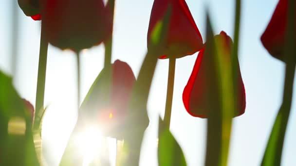 červené tulipány na slunce pozadí
