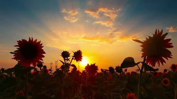 blooming sunflowers at sunset
