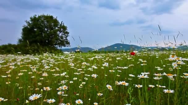 flowering camomiles, spring summer