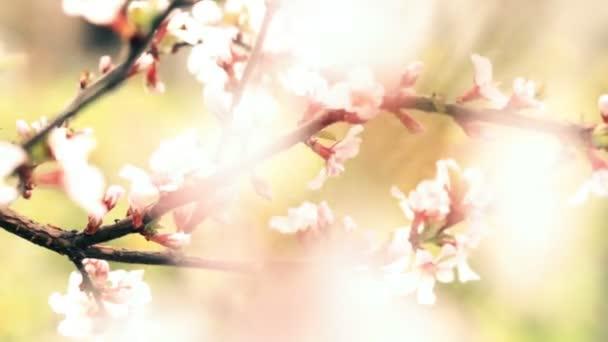 růžové Třešňové květy kvetoucí v jarní