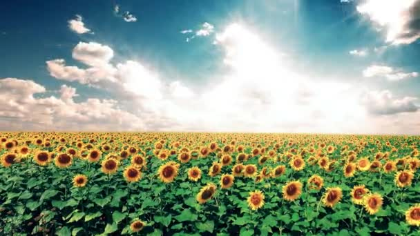 field of sunflowers and cloudy sky