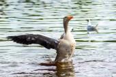 Kanadagans auf Kanal mit Flügeln nach oben