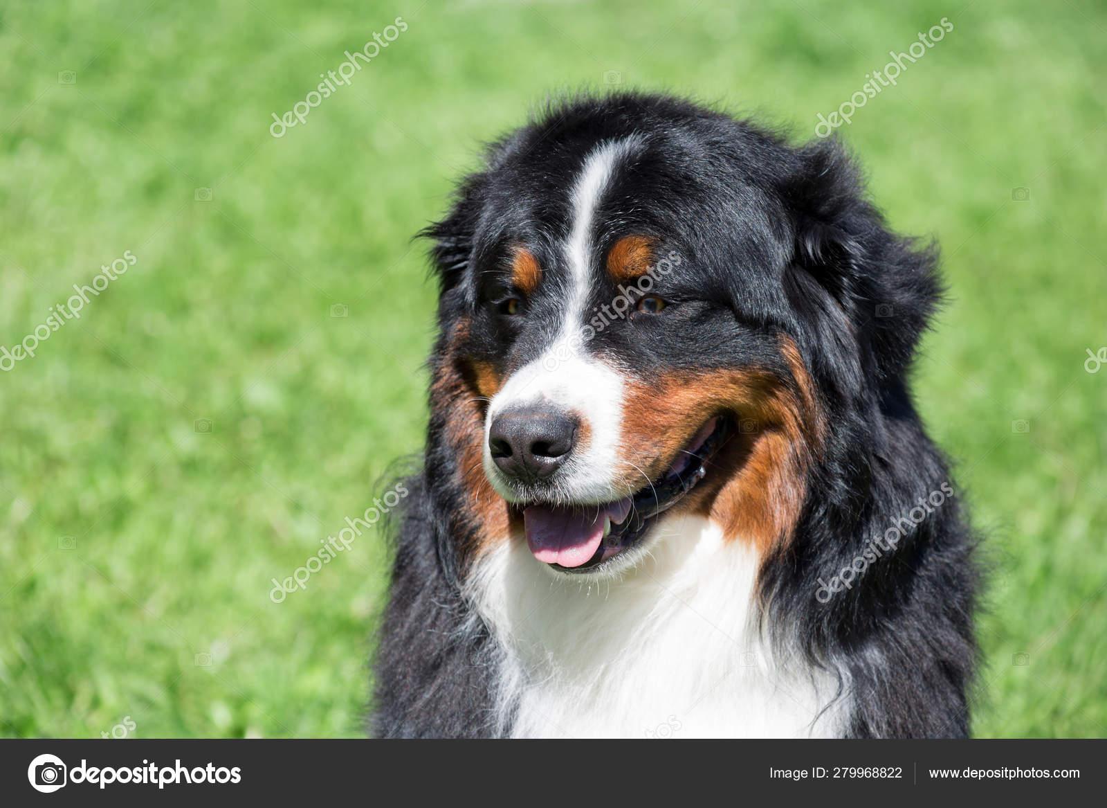 Cute Bernese Mountain Dog Puppy Is Sitting On A Green Grass Berner Sennenhund Or Bernese Cattle Dog Stock Photo C Sergeytikhomirov 279968822