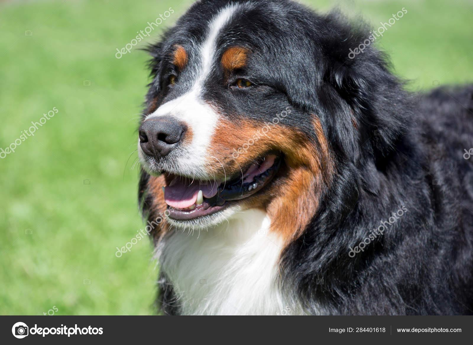 Cute Bernese Mountain Dog Puppy Is Standing On A Green Meadow Berner Sennenhund Or Bernese Cattle Dog Stock Photo C Sergeytikhomirov 284401618