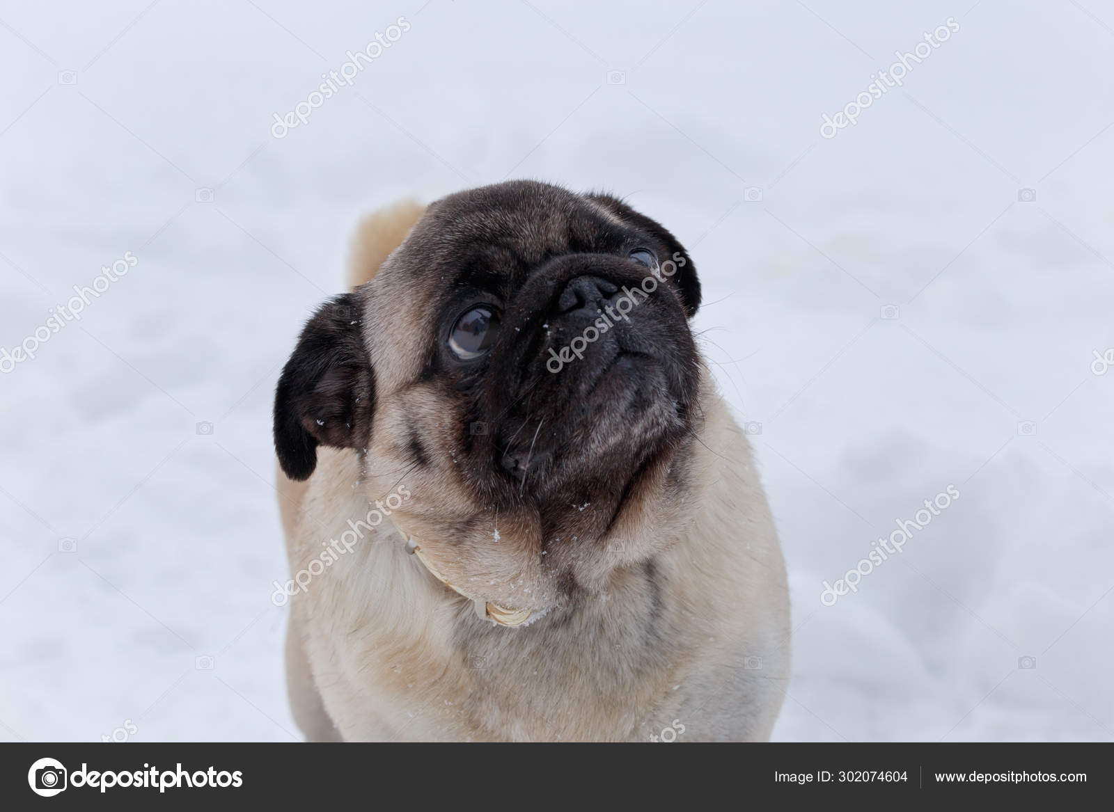 Cute Chinese Pug Puppy On A Background Of White Snow Dutch Mastiff Or Mops Pet Animals Stock Photo C Sergeytikhomirov 302074604