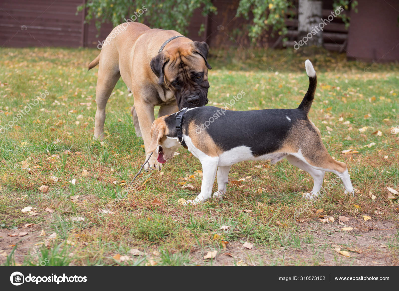 Cute Beagle Puppy And Bullmastiff Puppy Are Playing In The Autumn Park Pet Animals Stock Photo C Sergeytikhomirov 310573102