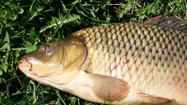 Carp fish lying on green grass under bright sunlight, close-up panoramic footage