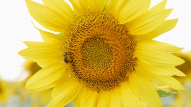 Včelí pyl shromažďuje na slunečnice