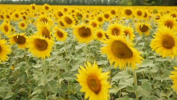 pole se žlutými slunečnicemi